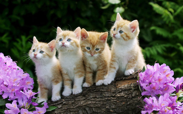 Curious-Kittens-Wallpaper-1