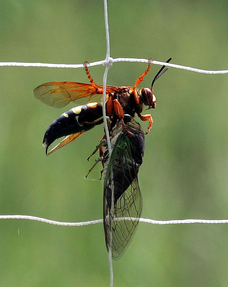 800px-Eastern_cicada_killer_wasp_(Sphecius_speciosus)_with_Cicada